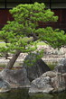 Bonsai in japanese garden (Kyoto)