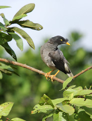 Beautiful black and grey Indian Myna satring at camera