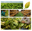 growing and drying tobacco