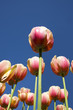tulips under the blue sky