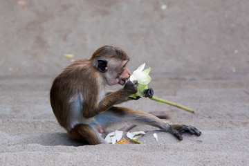 monkey eating flower