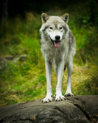 Wild, Eastern Gray Timber Wolf in Natural Habitat