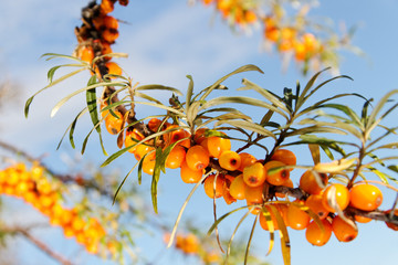 Branch of seabuckthorn.