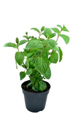 Mint plant in a plant pot on white background