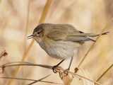 Common Chiffchaff on leaf cane, phylloscopus collybita