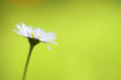 Daisy flower, green background