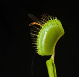 giant mosquito in the jaws of carnivorous plant dionaea poster