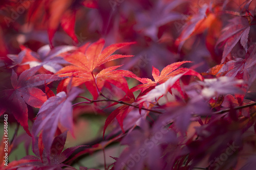Autunno acero rosso immagini e fotografie royalty free for Acero rosso canadese prezzo