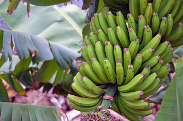 Bunch of bananas, Island of Madeira