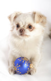 Chihuahua on white background with Christmas Decoration