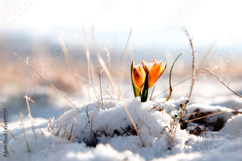 yellow snowdrop in high mountain valley - 36498857