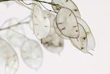 Fototapety Lunaria annua - Silberblatt
