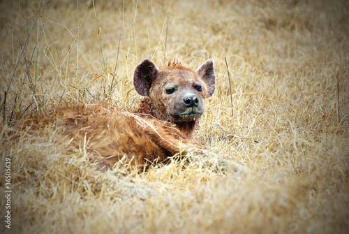 Papiers peints Hyène Laid-down hyena picture with vignetting effect