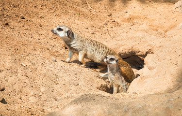 Family Meerkat,  going out from their hole