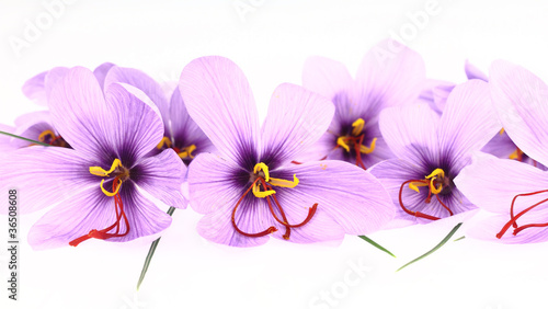 Foto op Canvas Krokussen Purple Saffron Crocus flowers banner