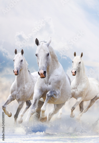 Fototapeta white horses in dust