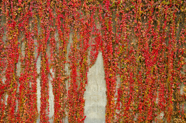 Colorful creepers covers wall made of concrete. Autumn colors.