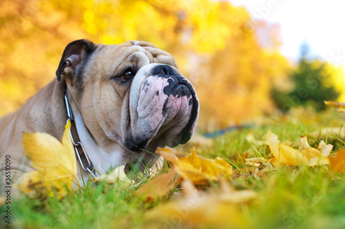 Bulldog in autumn