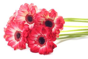 Red daisy flower on white