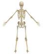 Human Skeleton Anatomy Rear View