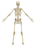Human Skeleton Anatomy Rear View