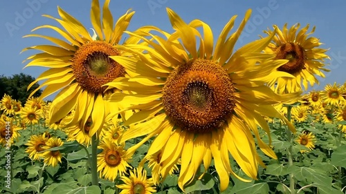 a sunflower fields