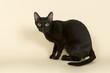 Asian Katze 18783