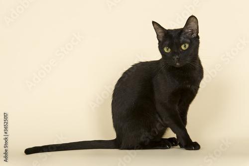 Asian Katze 18895