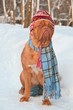 Dog wearing winter clothing