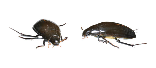 Water Beetle (Hydrophilus piceus) two positions isolated