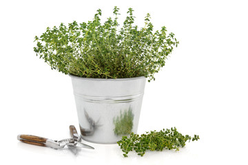 Pruning Thyme Herb Plant