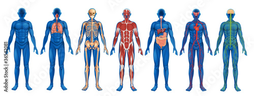 Human Body Vector Free Human Body Systems Stock