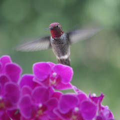 hummingbird in purple orchids