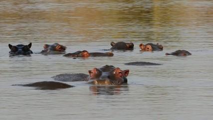 Group of hippopotamus in water, Kruger N/P, South Africa