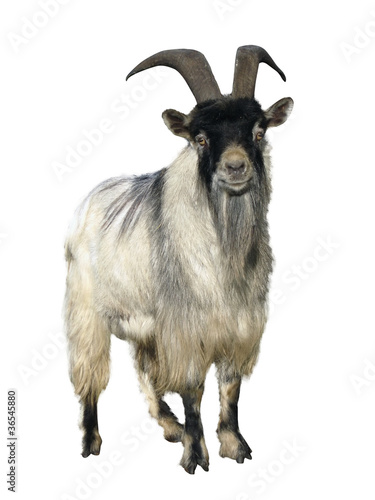 goat. Isolated over white