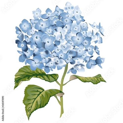 hortensie blau por susanne sommer vetor royalty free. Black Bedroom Furniture Sets. Home Design Ideas