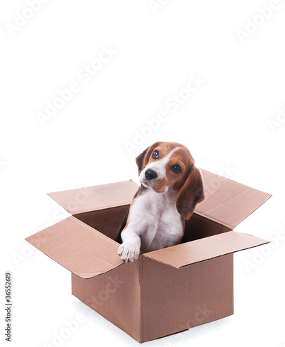 beagle puppy in box