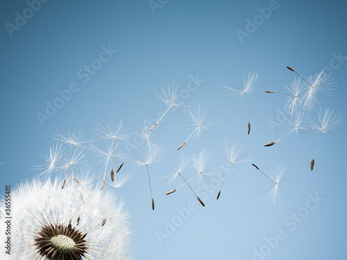 Close up of dandelion spores blowing away