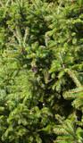 Fototapeta zielony - jodła - Drzewo