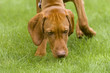 Vizsla dog sniffing the grass