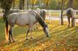 Lipizzan horses grazing