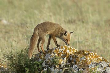 Volpe,vulpes vulpes,Red Fox