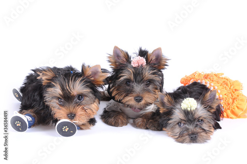 Three puppies of yorkshire terrier