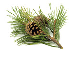 Fototapety Pine branch with cones