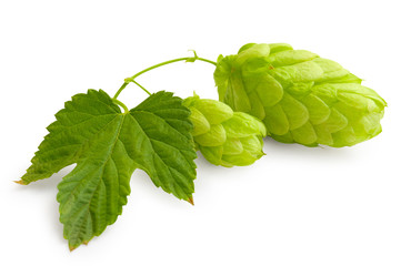 Fresh green Hop bunch on white