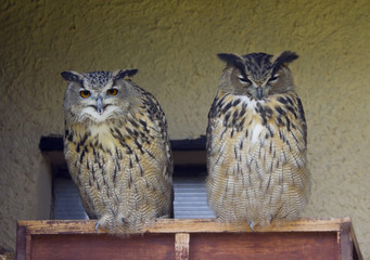 Two Eagle-owls