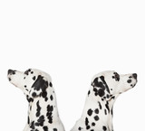 Dalmatians looking in opposite directions