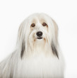 Close up of long-haired dog's face