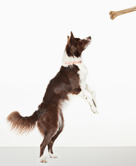 Dog standing to reach bone