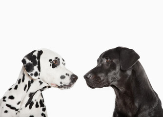 Dalmatians examining each other